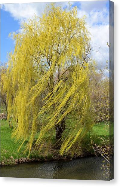 Canvas Print featuring the photograph Wind In The Willow by Viviana  Nadowski
