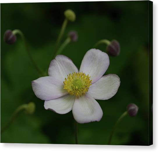 Windflower 1 Canvas Print by Denise McKay