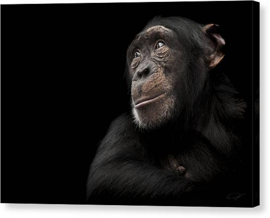 Chimpanzees Canvas Print - Window To The Soul by Paul Neville