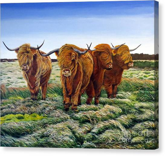 Windswept Highland Cattle  Canvas Print