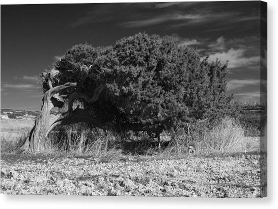 Windswept Olive Tree Canvas Print by Donald Buchanan