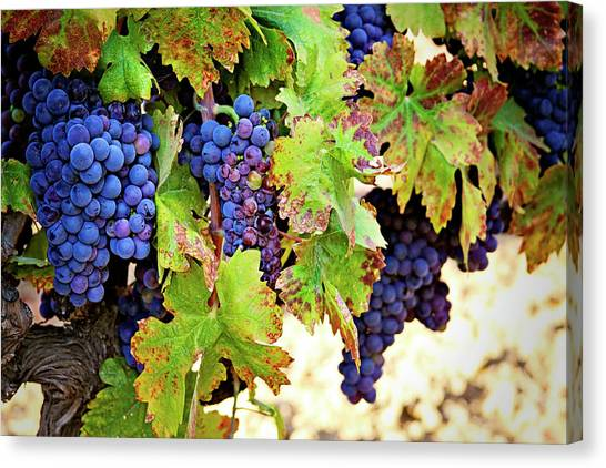 Wine Country - Napa Valley California Photography Canvas Print
