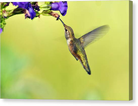 Winged Beauty A Hummingbird Canvas Print