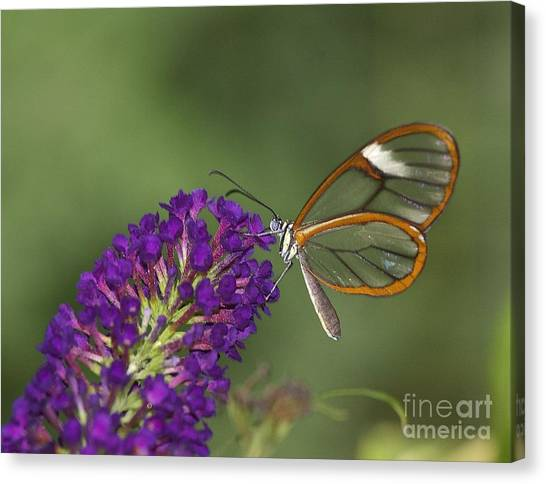Wings Like Glass Canvas Print