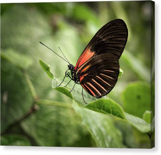 Wings Of The Tropics Butterfly Canvas Print