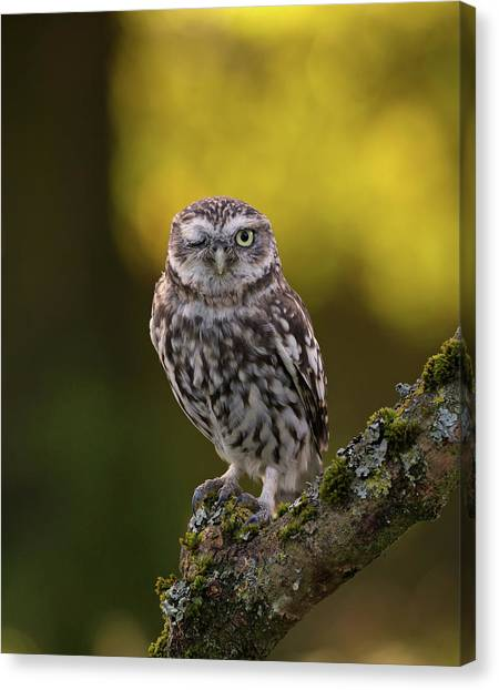 Winking Little Owl Canvas Print