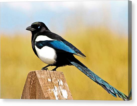Magpies Canvas Print - Winking Magpie by Mitch Shindelbower