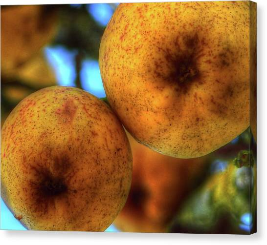 Winter Apples 2 Canvas Print