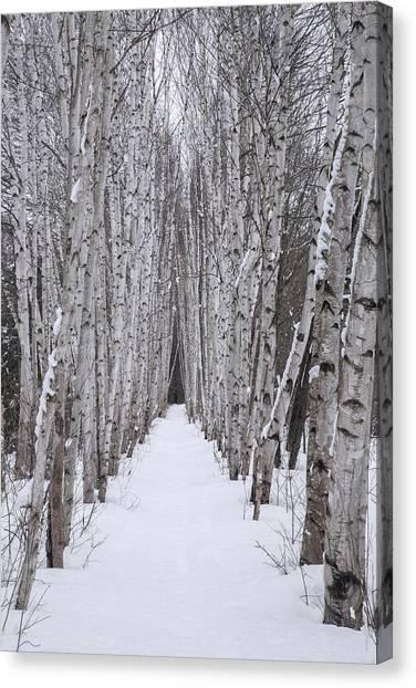 Winter Birch Path Canvas Print