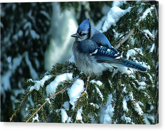 Winter Blue Jay Canvas Print by Andrew Oliver