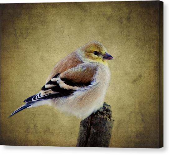 Winter Goldfinch Canvas Print