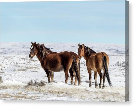 Winter In Sand Wash Basin - Wild Mustangs Canvas Print