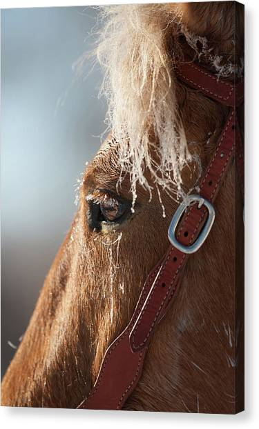 Canvas Print - Winter Mustang Eye by Shawn Hamilton