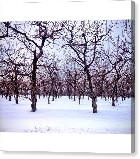 Orchard Canvas Print - Winter Orchard by Emily Douglass