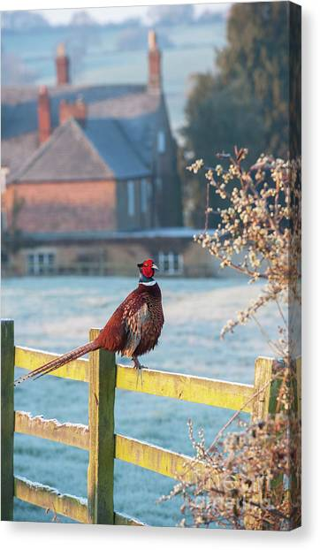 Pheasants Canvas Print - Winter Pheasant by Tim Gainey