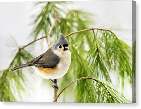 Titmice Canvas Print - Winter Pine Bird by Christina Rollo