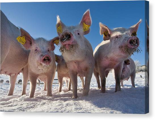 Pig Farms Canvas Print - Winter Sports by Robert Lacy