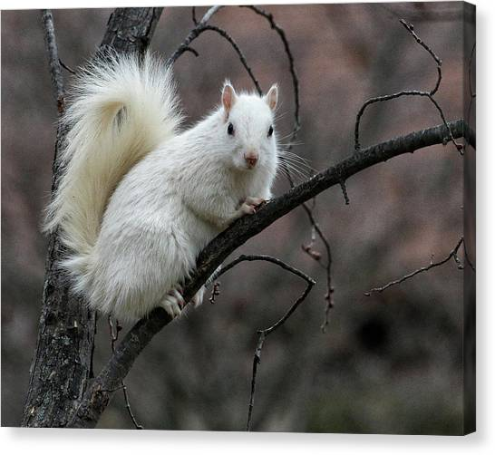 Canvas Print featuring the photograph Winter Squirrel by William Selander