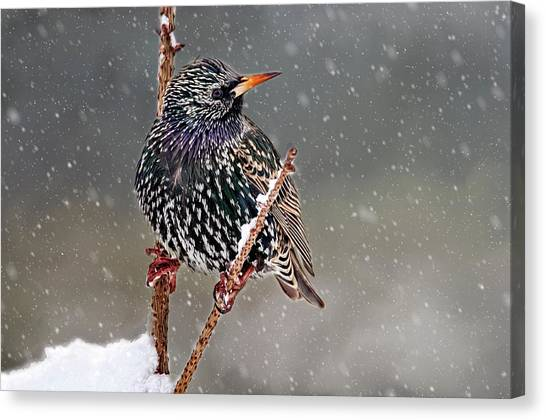 Winter Starling 2 Canvas Print