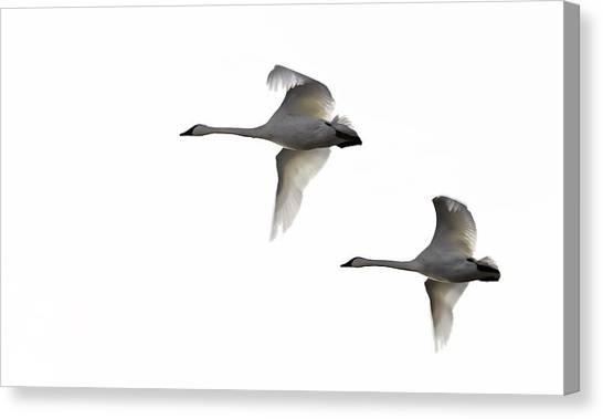 Winter Swans Canvas Print