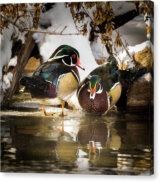 Winter Visitors - Wood Ducks Canvas Print