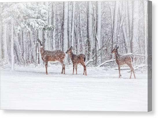 White-tailed Deer Canvas Print - Winter Visits by Karol Livote