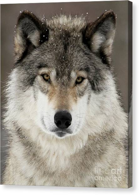 Arctic Wolf Canvas Print - Winter Wolf by Heather King