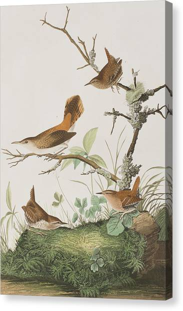 Wrens Canvas Print - Winter Wren Or Rock Wren by John James Audubon
