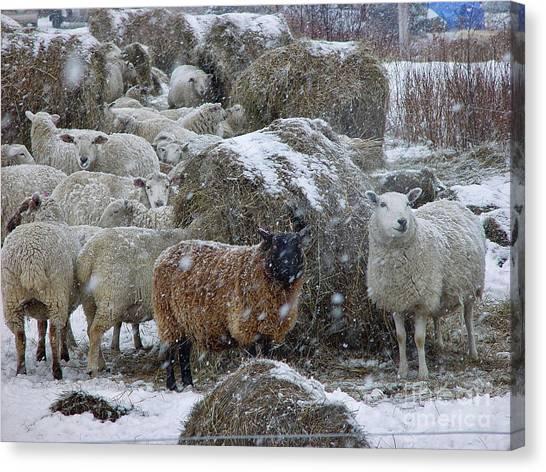 Wintering Sheep Canvas Print