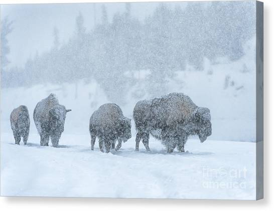Bison Canvas Print - Winter's Burden by Sandra Bronstein