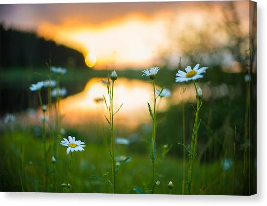 Wisconsin Daisies At Sunset Canvas Print