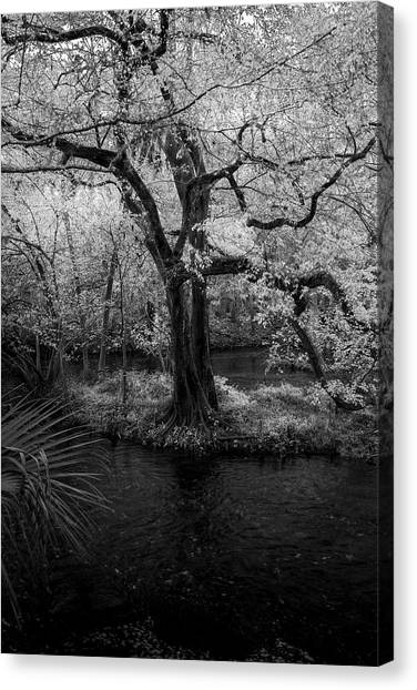 Bass Fishing Canvas Print - Wisdom Of A Tree by Marvin Spates