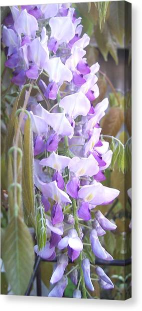 Wisteria Canvas Print by Jean Booth
