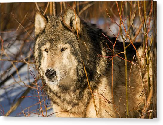 Wolf In Brush Canvas Print