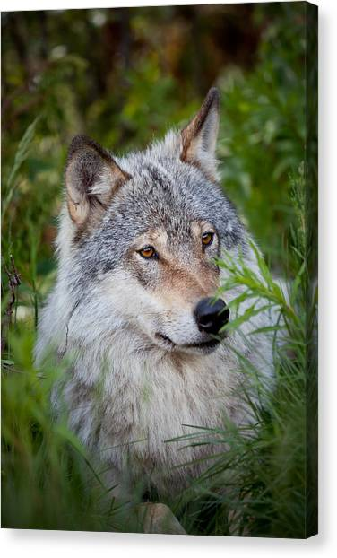 Wolf In The Grass Canvas Print
