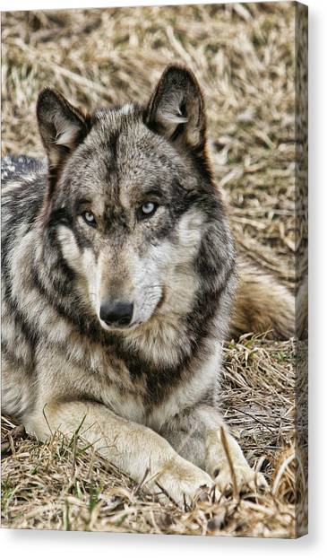 Wolf Portrait Canvas Print