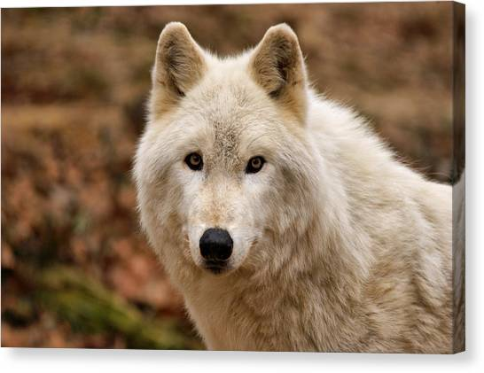 Arctic Wolf Canvas Print - Wolf Watching by Sandy Keeton