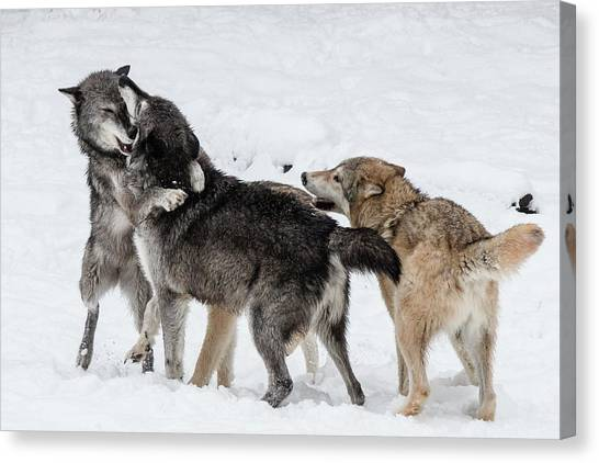 Arctic Wolf Canvas Print - Wolves At Play by Teresa Wilson