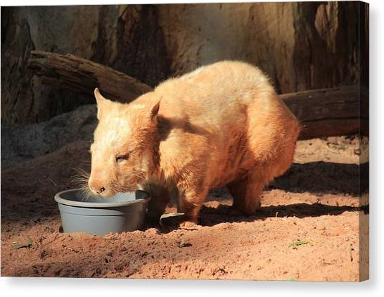 Hogs Canvas Print - Wombat by Jackie Russo