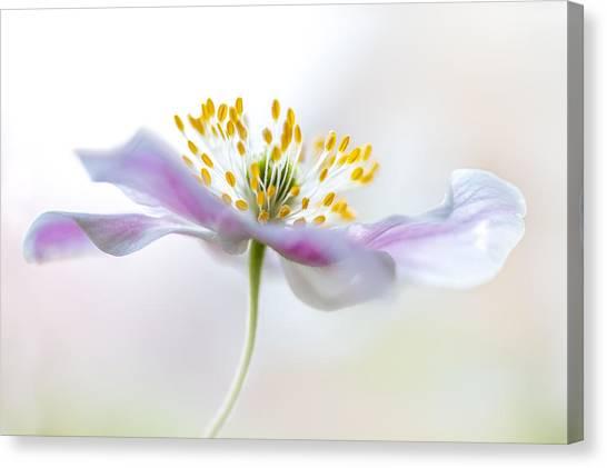 Macro Canvas Print - Wood Anemone by Mandy Disher