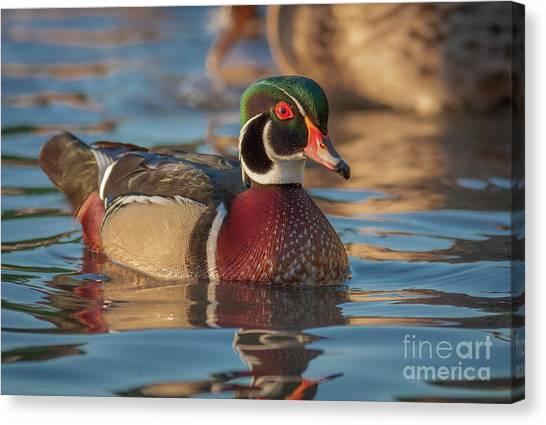 Wood Duck 4 Canvas Print