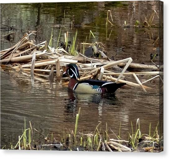Canvas Print featuring the photograph Wood Duck  by Betty Pauwels