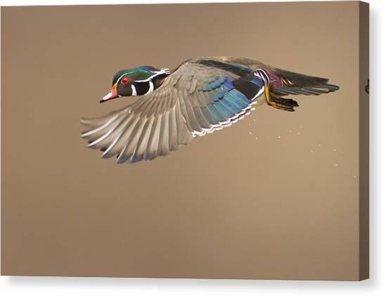 Ducks Canvas Print - Wood Duck by Mircea Costina