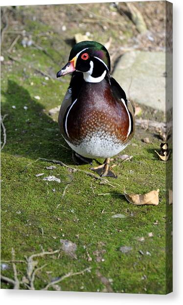 Wood Duck On Moss Canvas Print by Jan Amiss Photography