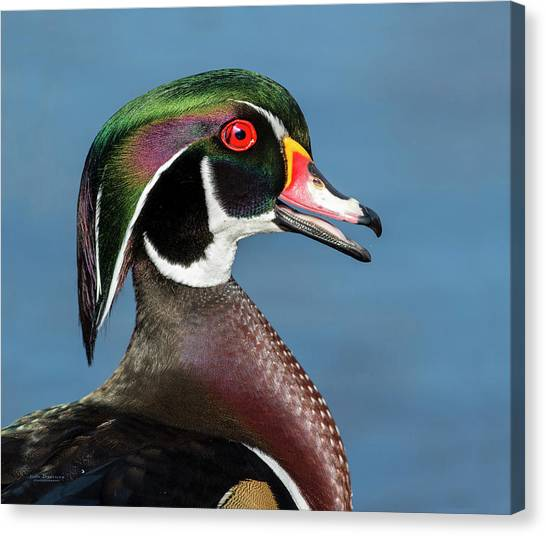 Wood Duck Portrait Canvas Print
