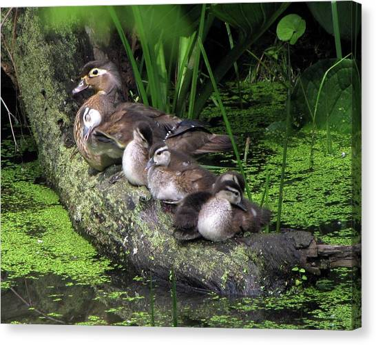 Wood Ducks On A Log Canvas Print