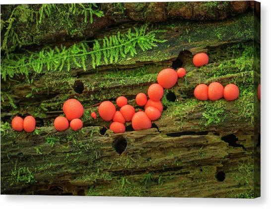 Wood Fungus Canvas Print