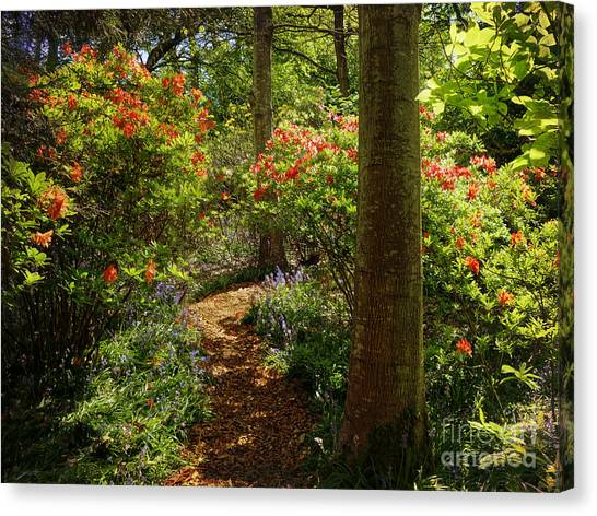Woodland Path With Rhododendrons Canvas Print