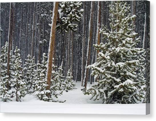 Woodland Snowstorm In Yellowstone Canvas Print