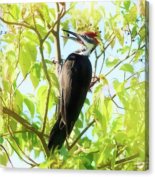 Woodpeckers Canvas Print - Woodpecker Eating Elderberries by Susan Capuano